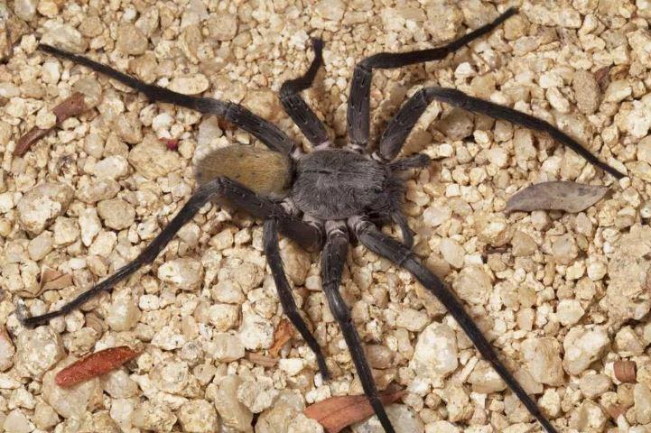 کشف نوع جدیدی از عنکبوت های غول پیکر در معدن های متروکه مکزیک (+عکس)