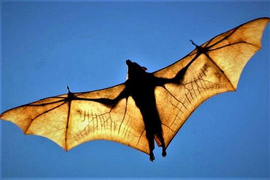 خفاشی به اندازه انسان | خفاش غول پیکر فیلیپینی