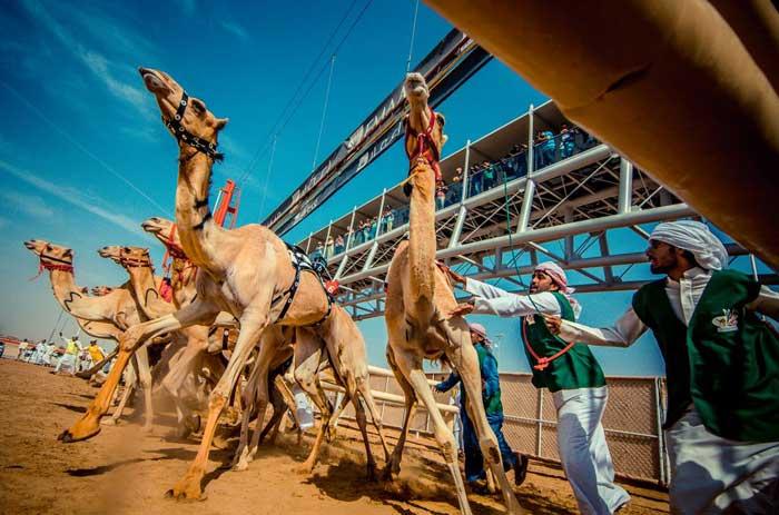مسابقه شترها (+عکس)