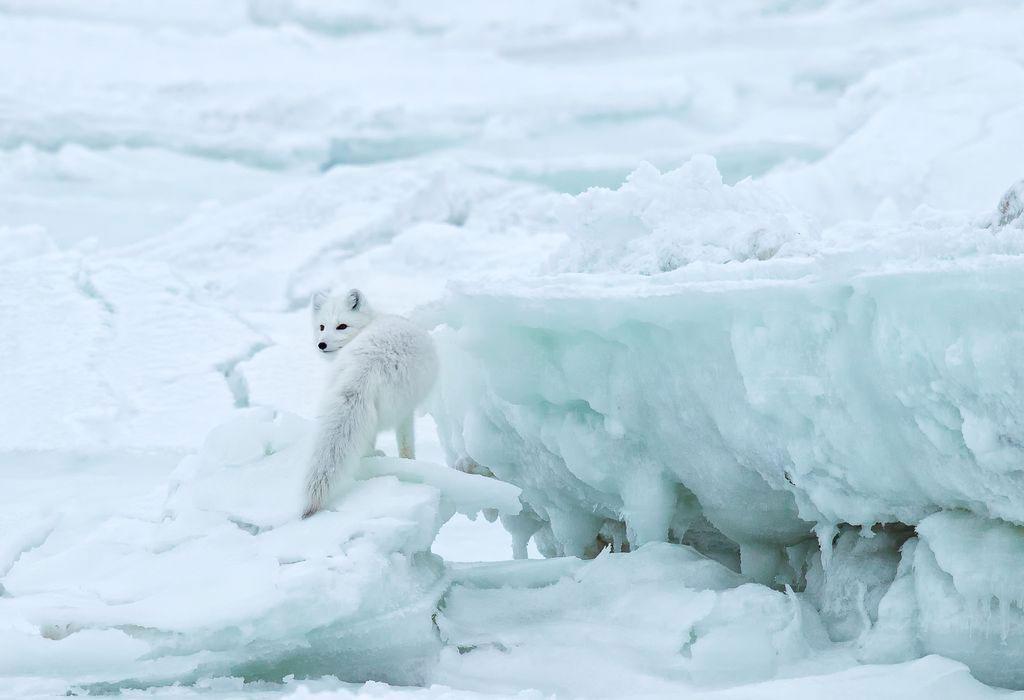 شکار روباه (عکس)