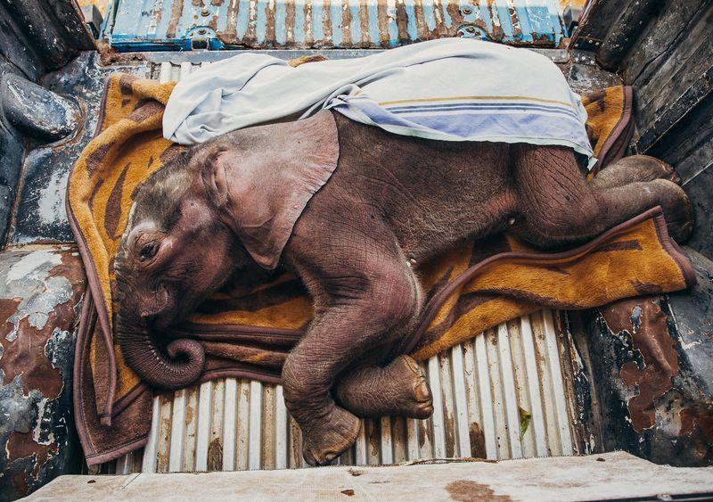 نجات جان یک بچه فیل (عکس)