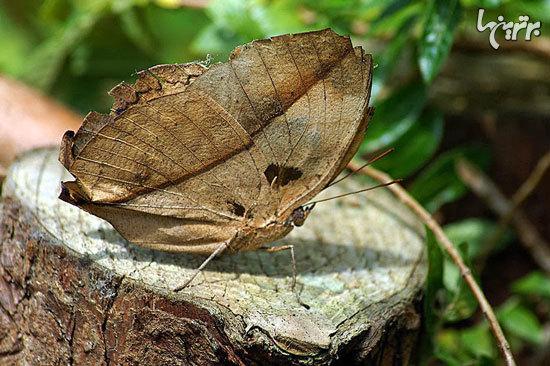 زیباترین پروانههای جهان (+عکس)