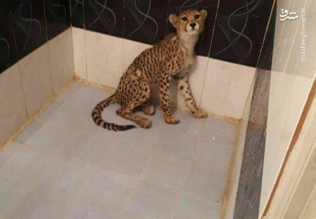 یوزپلنگ آسیایی کشف شده در تهران (عکس)