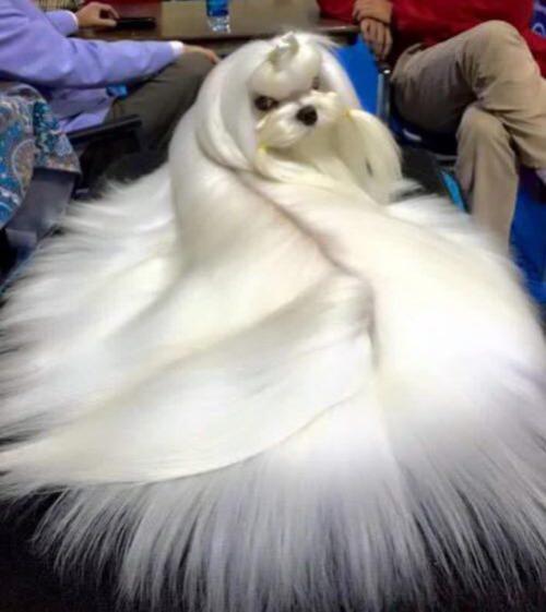 زیباترین سگ دنیا (عکس)