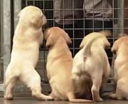 چرا شانس بعضی سگها برای خانهدار شدن بیشتر است؟ (فیلم)
