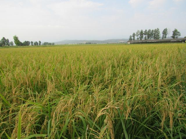 کاشت برنج