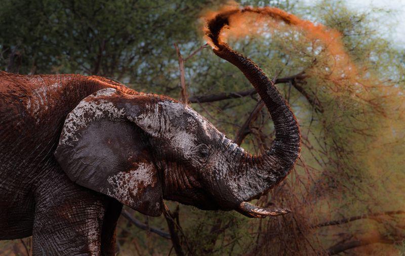 حمام خاک یک فیل (عکس)