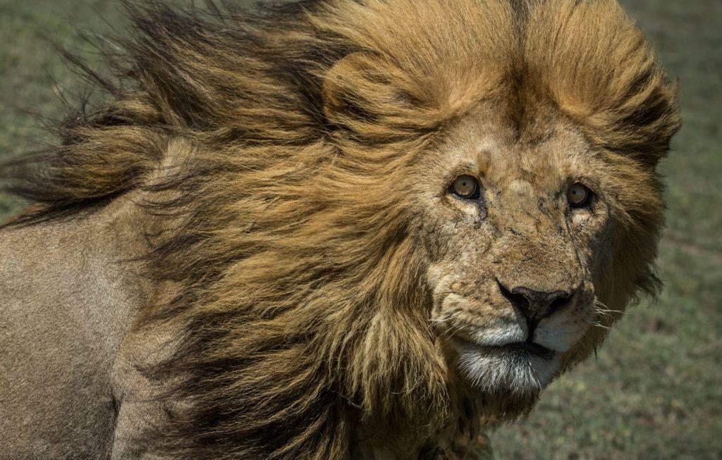 عظمت یک شیر تانزانیایی (عکس)