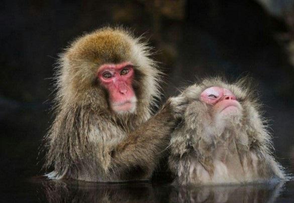 چهره زیبای میمونهای برفی از نزدیک (+عکس)