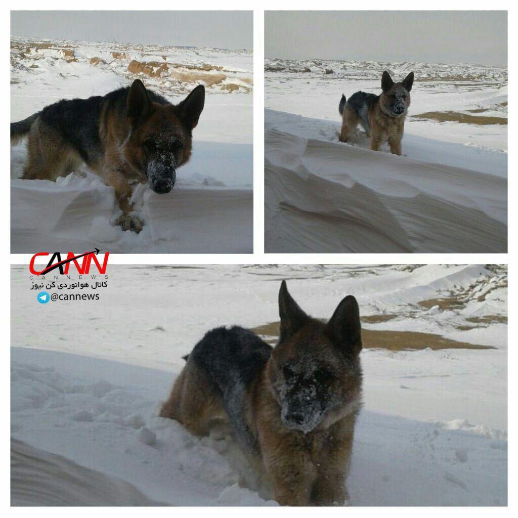 سگهای نجات هلالاحمر در دامنه کوه دنا (عکس)