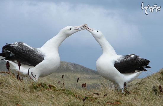 رمانتیکترین حیوانات دنیا (+عکس)