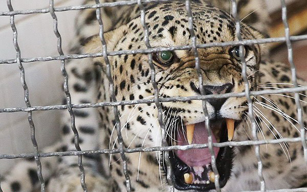 هشدار! پلنگ تورم از قفس آزاد نشود...