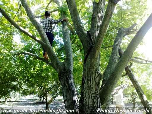 چیدن «نخاع» روی درختان گردو!