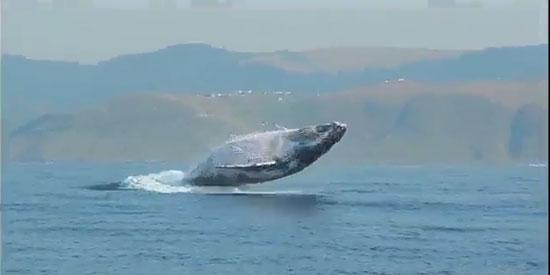 پرش دیدنی و باورنکردنی نهنگ 40 تنی بیرون از آب (+عکس)