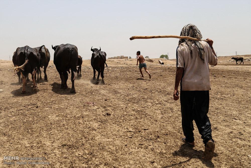 بیآبی زندگی 1000 گاومیش را در حمیدیه تهدید میکند