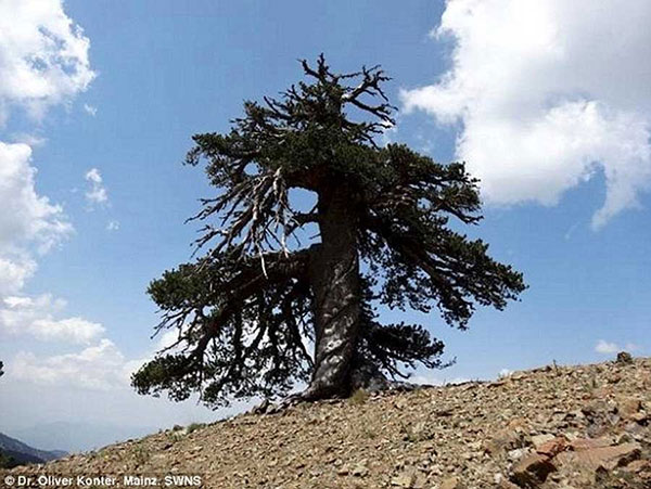 کاج آدونیس 1000 ساله پیرترین درخت اروپا در یونان (+عکس)