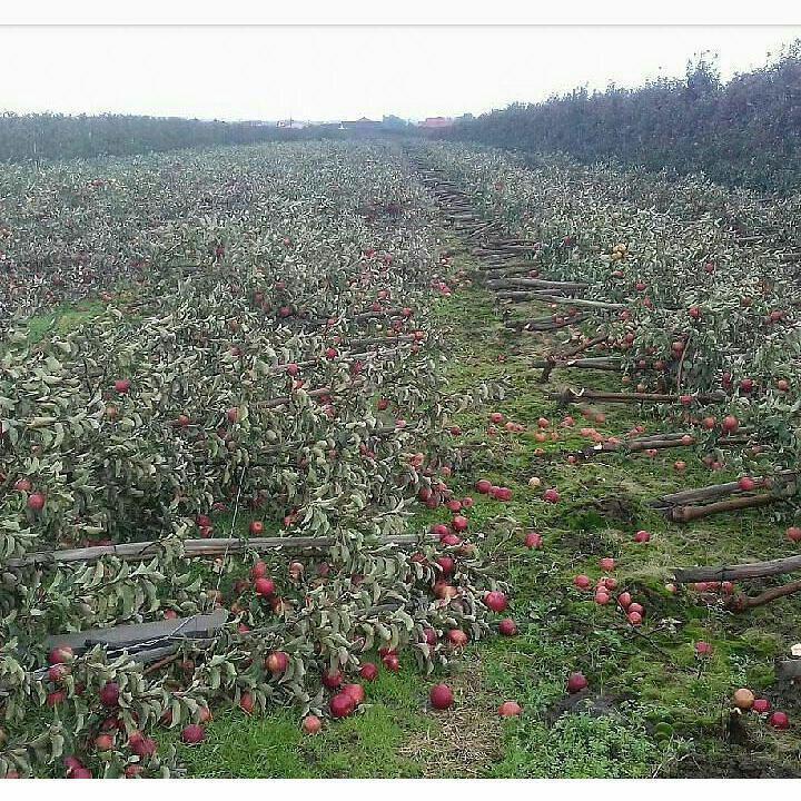خون دل باغبان و سیبهای سرخ