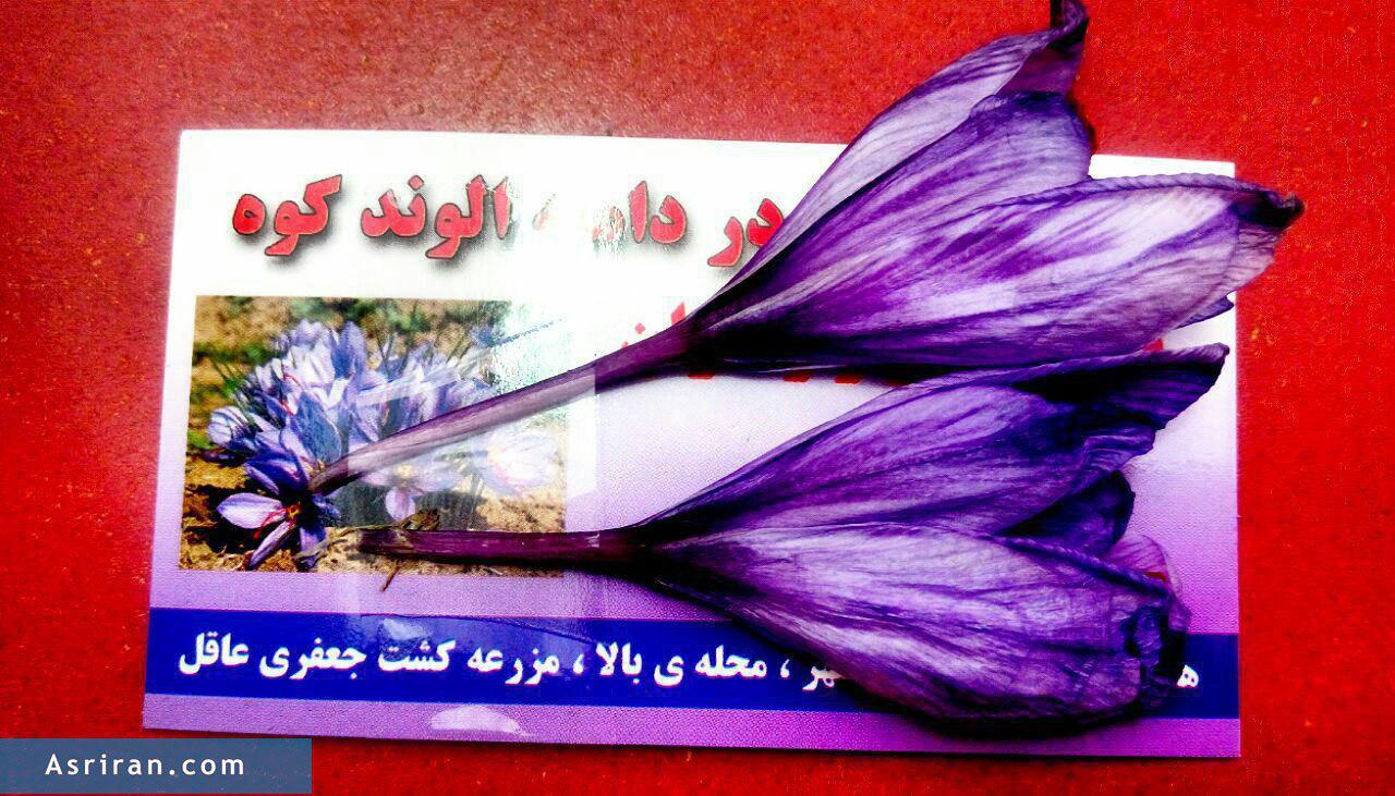 تبلیغ زنده زعفران در همدان (عکس)