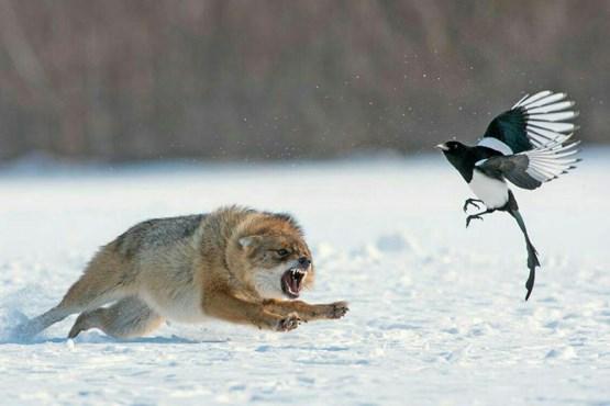 درگیری روباه و زاغ (+عکس)