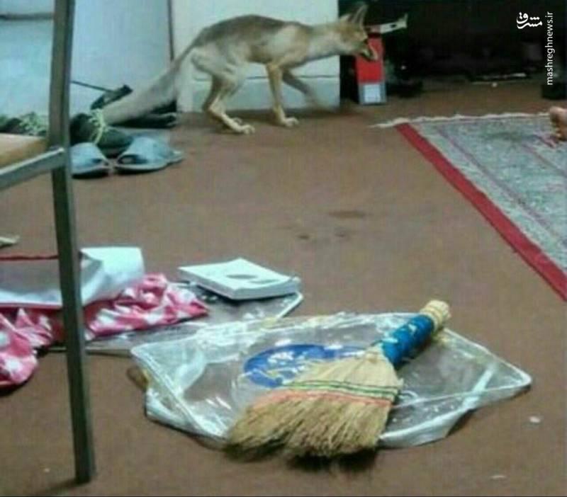 روباهی که از خوابگاه دانشجویی سردر آورد! (عکس)