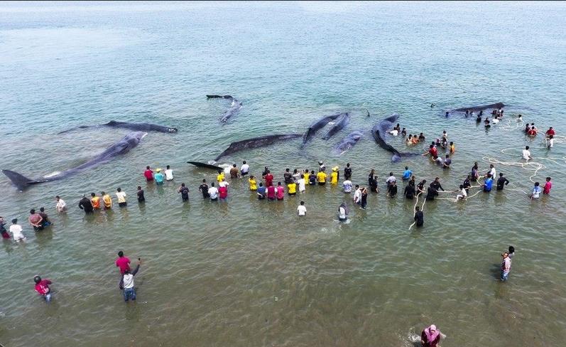 خودکشی دسته جمعی نهنگ ها (عکس)