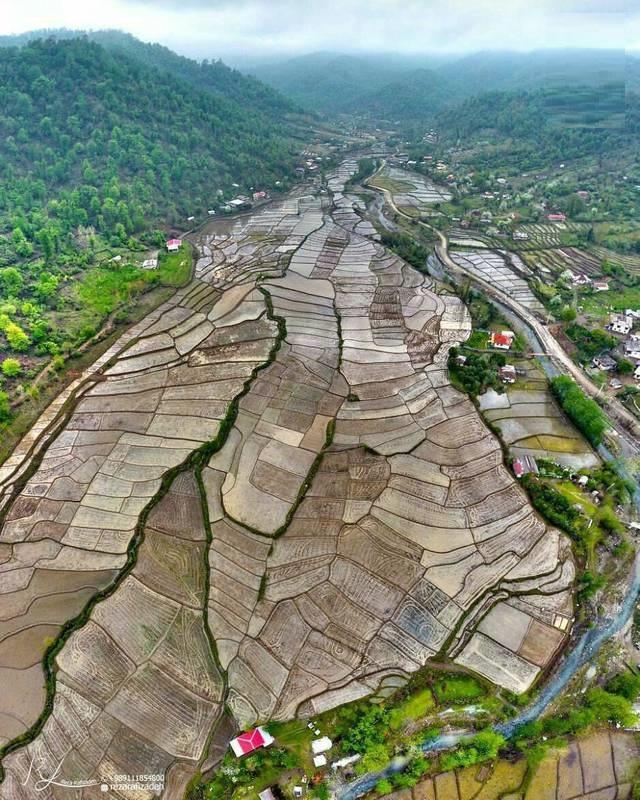 مزارع برنج شهر تالش (عکس)