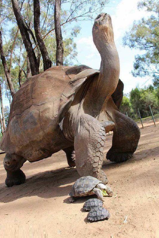 سنگین وزنترین لاکپشت خشکی جهان (عکس)