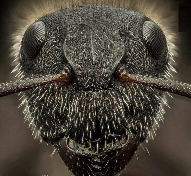 نمای نزدیک از صورت مورچه (عکس)