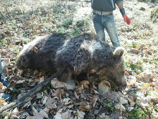 پیدا شدن لاشه خرس در جنگل های مازندران (+عکس)