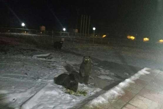 خرس ها در ایستگاه هواشناسی (عکس)