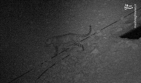 اولین تصویر منتشر شده از پلنگ ایرانی در لارستان (عکس)