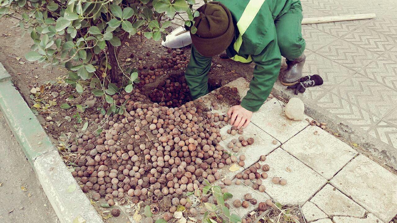 انبار گردوهای یک موش در نارمک! (عکس)