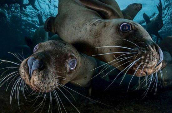 دو شیر دریایی استلر (عکس)