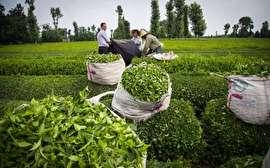 افزایش تولید چای درجه یک ایرانی