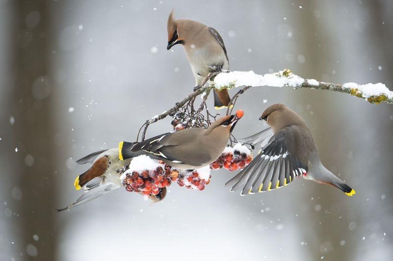 توت خوردن گروهی پرندگان (عکس)