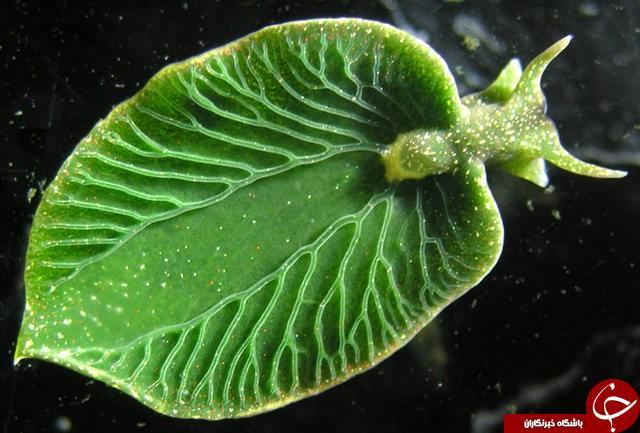 حیوانی عجیب که می تواند همانند گیاهان، فتوسنتز کند! (+عکس)