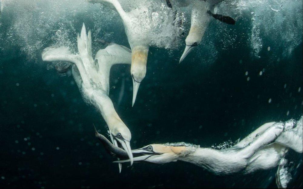 جنگ مرغهای ماهی خوار (عکس)