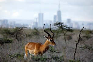 نمایی بینظیر از حیات وحش در کنیا (عکس)