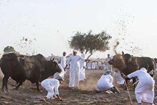 گاو بازی در امارات (عکس)