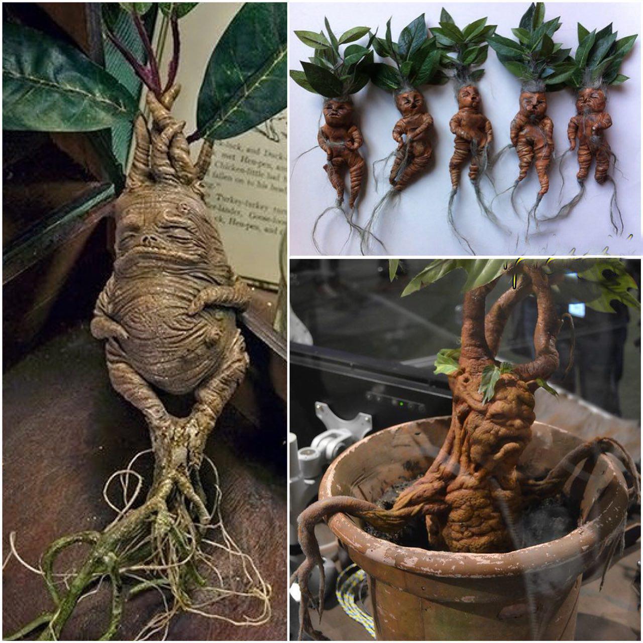 گیاهی که ریشه ای شبیه انسان دارد (عکس)