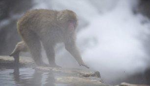 آبتنی میمون ها در چشمه آب گرم ژاپن (عکس)