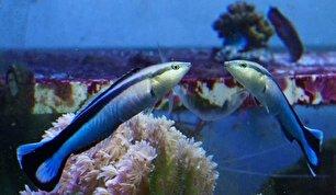ماهی هایی که خود را در آینه می شناسند (+عکس)