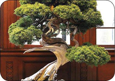 درخت بن سای 400ساله دزدیده شد! (+عکس)