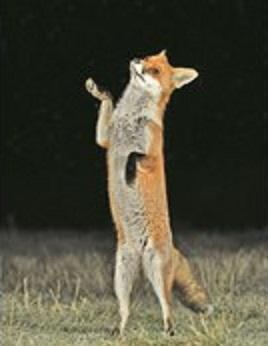 رقص روباه در تاریکی