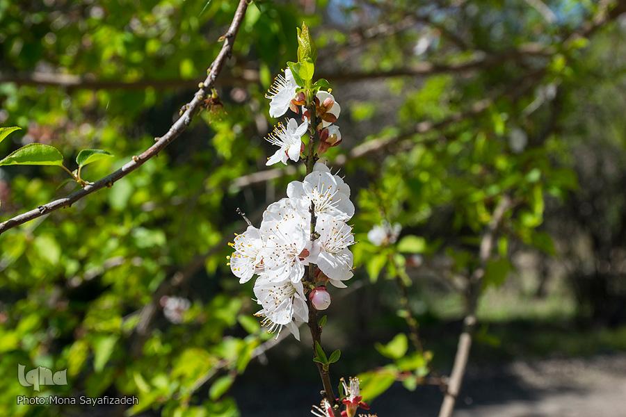 شکوفه دادن درختان زردآلو - بهبهان خوزستان (عکس)