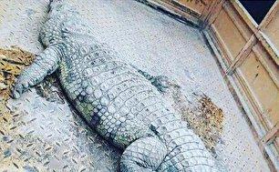 کشف تمساح 2 متری از اروند رود (+عکس)