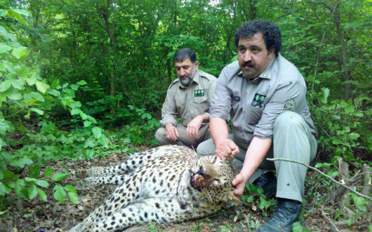 تله خوک در مازندران جان پلنگ را گرفت (عکس)