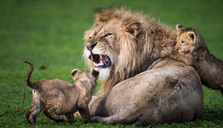 بازی توله شیرها با پدر خشمگین شان (+عکس)