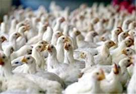 کمبود نهاده جان 150 میلیون قطعه جوجه گوشتی را تهدید میکند (+سند)