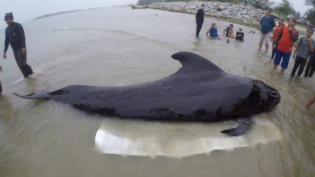 نهنگ با 80 کیسه پلاستیکی در شکم جان داد (+عکس)
